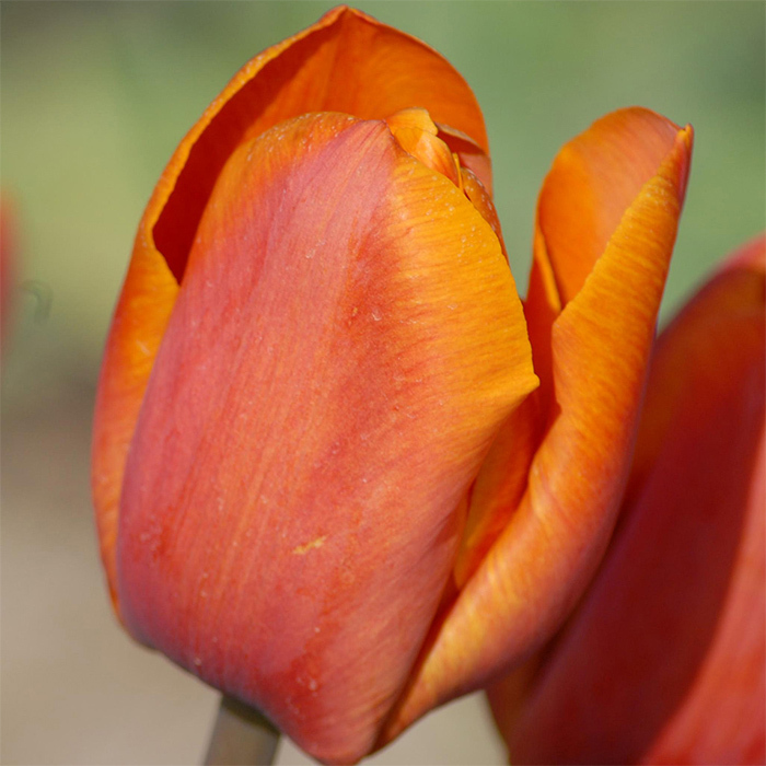 Orange Beauty Single Late Tulip