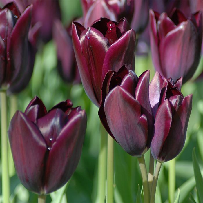 Philippe De Comines Single Late Tulip