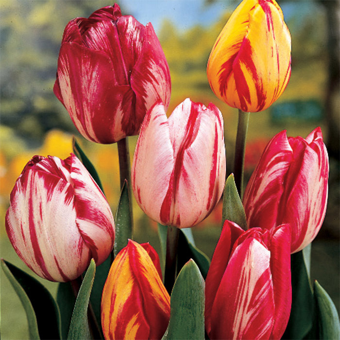 Modern Rembrandt Mix Tulip