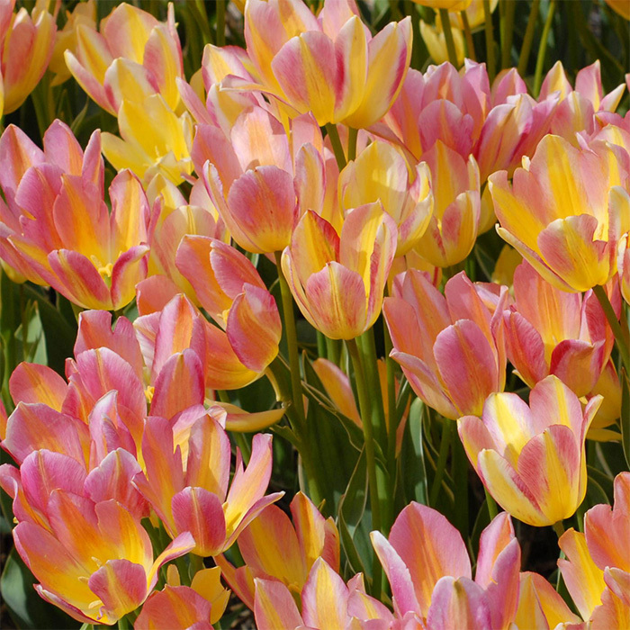 Antoinette Multiflowered Tulip
