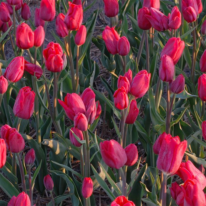 Merry-Go-Round Single Late Tulip
