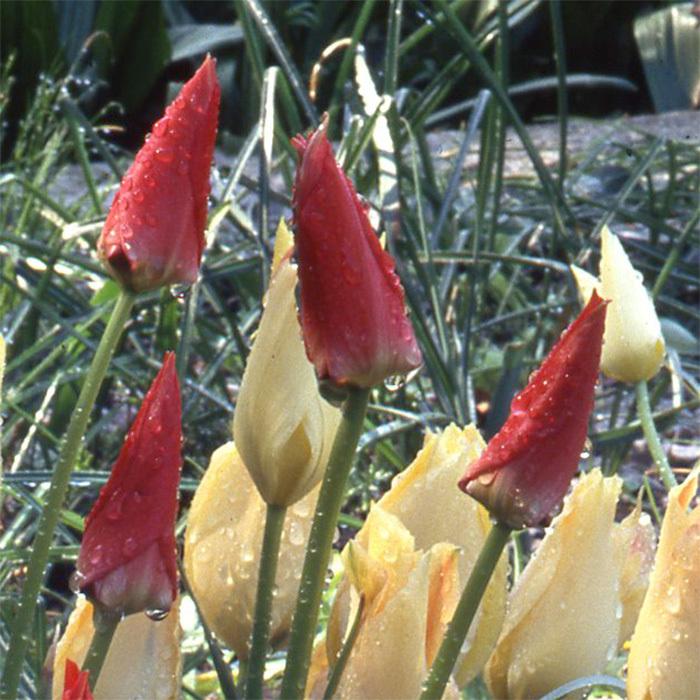 Tulip Batalinii Red Jewel