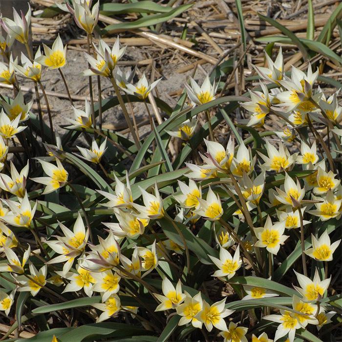 Tulip Biflora