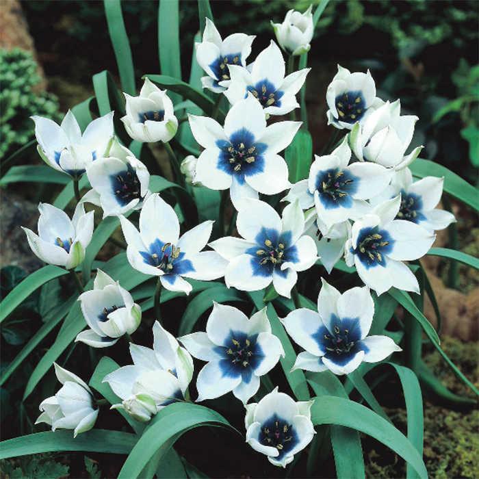 Tulip Humilis Alba Coerulea Oculata