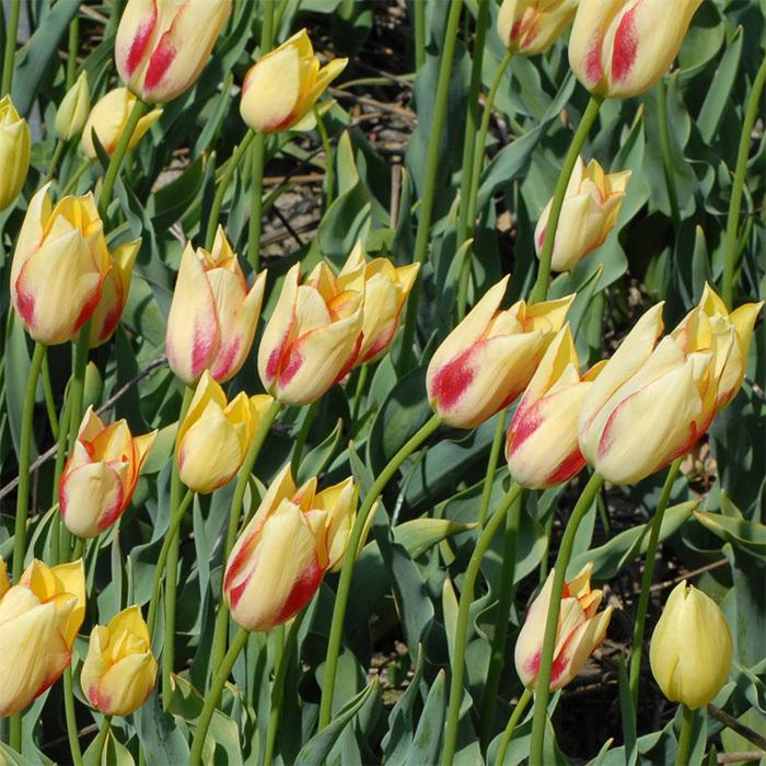 Tulip Marjoletti Slim Leaf Tulip