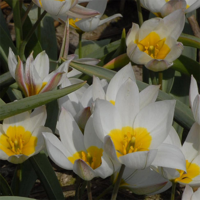 Tulip Polychroma