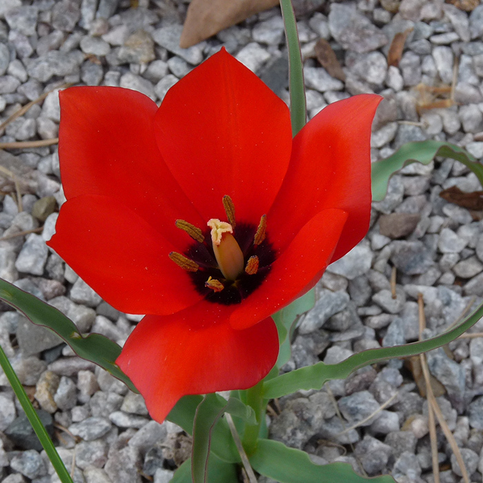 Tulip Red Hunter