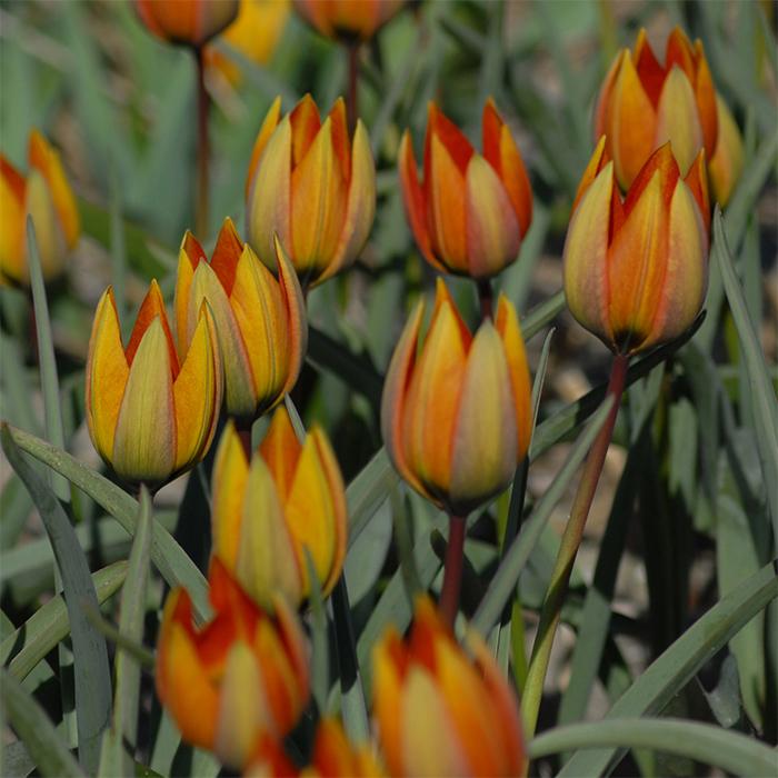 Tulip Whittallii