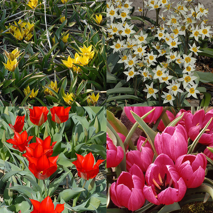 Wild Tulips Of Asia Collection