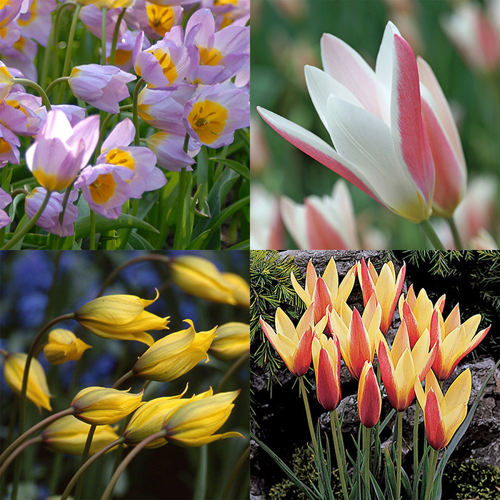 Wild Tulips For The Deep South