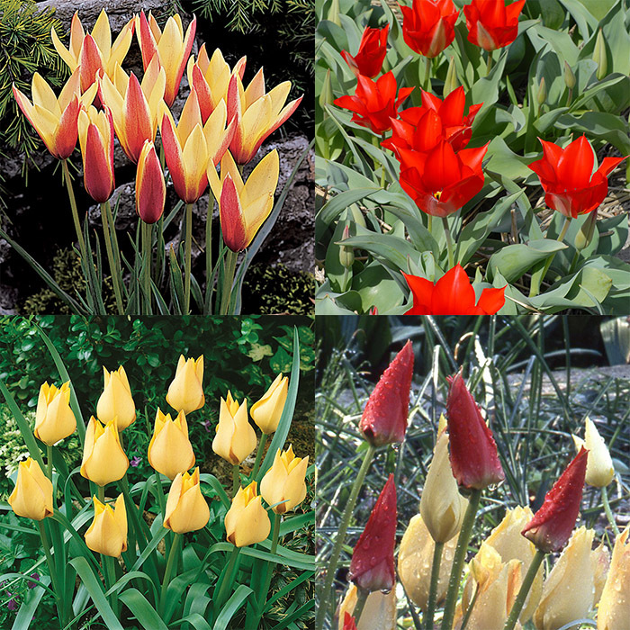 Wild Tulips For Cold Climates