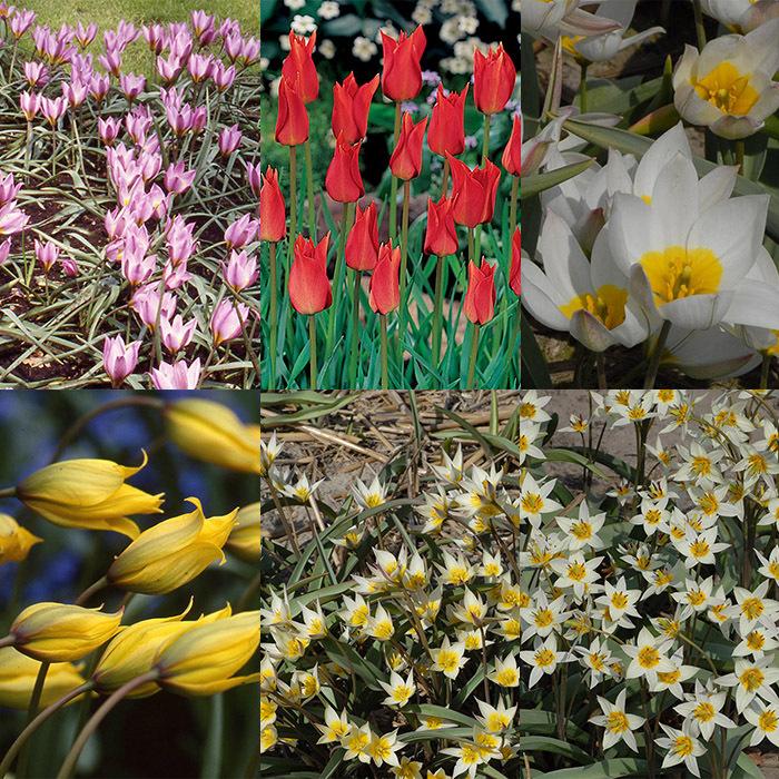 Heirloom Wild Tulip Collection