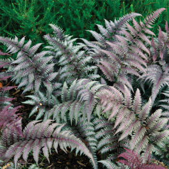Fern Athyrium Niponicum Red Beauty