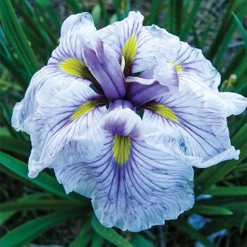 Greywood's Catrina Japanese Iris