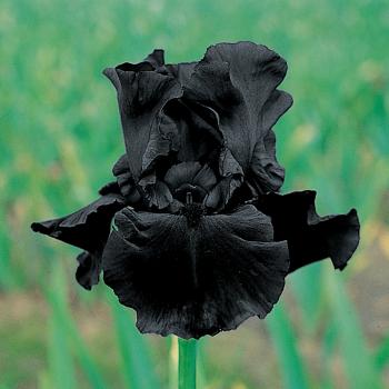 Hello Darkness German Bearded Iris