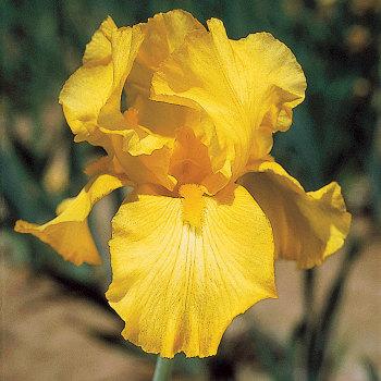 Harvest Of Memories German Bearded Iris