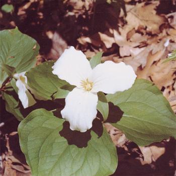 Trillium Grandiflorum