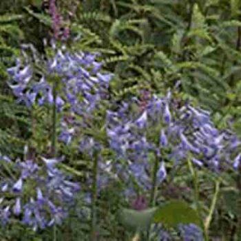 Agapanthus Headbourne Hybrid