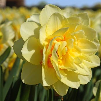 Manly Daffodil