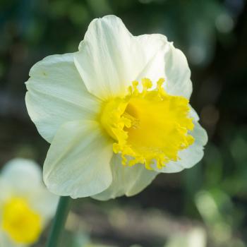 Sugar Dipped Daffodil