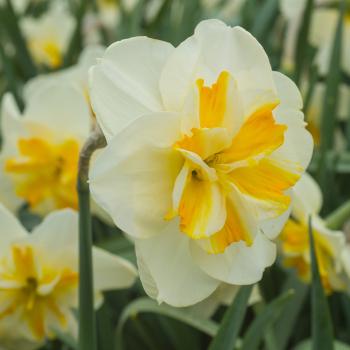 Sorbet Split Corona Daffodil
