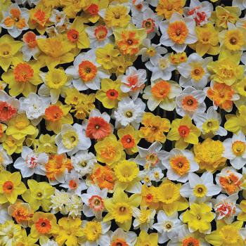 Daffodil 100 Mix