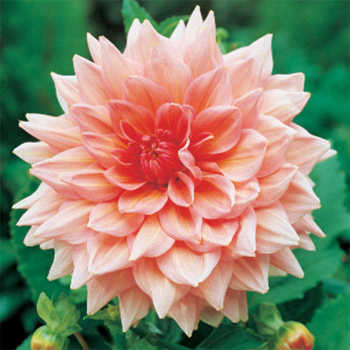 Dahlia Ottos Thrill