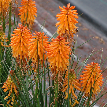 Poco Orange Kniphofia