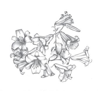 Aurelian Trumpet Lilies