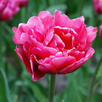 Margarita Double Early Tulip
