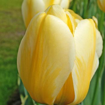 Jaap Groot Darwin Hybrid Tulip
