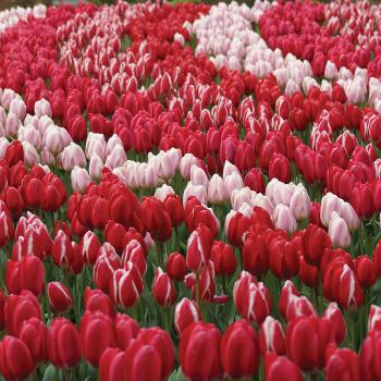 Darwin Delight Mix Tulips