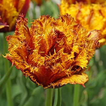 Bastia Fringed Tulip