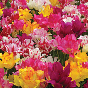 Special Value Tulip Blends