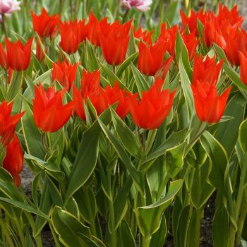 Bloemenlust Tulip
