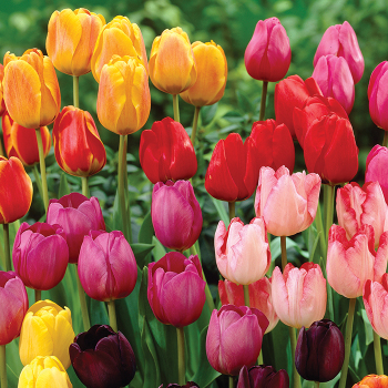 Rainbow Parade Mix Tulips