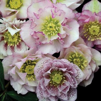 Flower Girl Hybrid Helleborus
