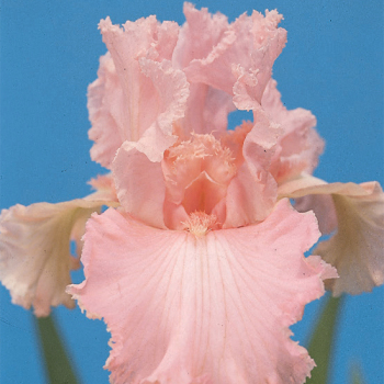 Beverly Sills German Bearded Iris