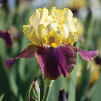 Blatant Reblooming Iris