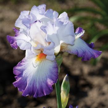 Conjuration German Bearded Iris