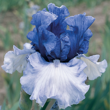 Crowned Heads German Bearded Iris