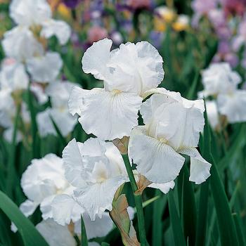 Immortality Reblooming Iris