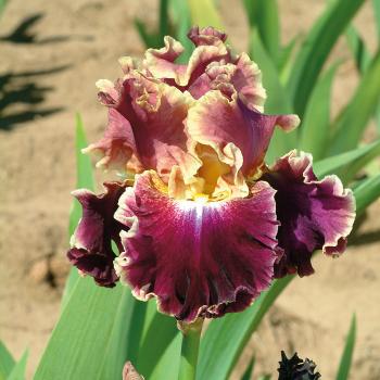 Montmartre German Bearded Iris