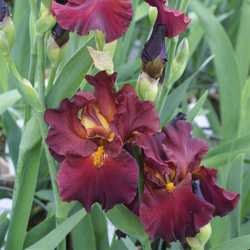 Saturday Night Live German Bearded Iris