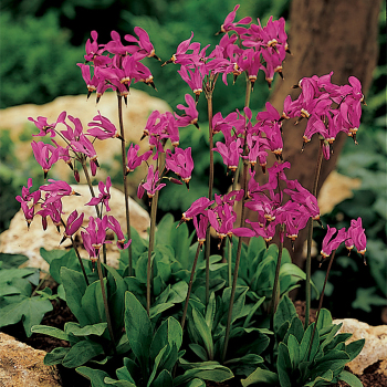 "Dodecatheon Meadia ""Shooting Star"""
