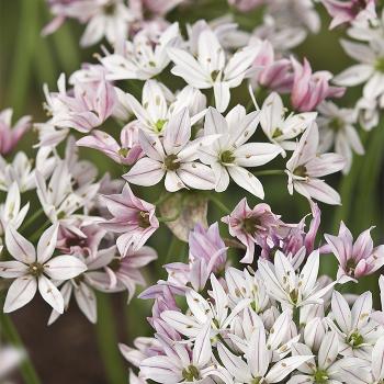 Cameleon Trifoliatum Allium