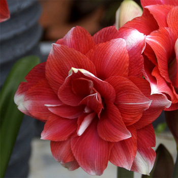 Double Dream Amaryllis