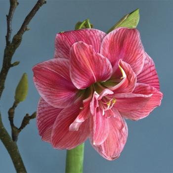 Pink Nymph Amaryllis