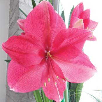Pink Surprise Amaryllis