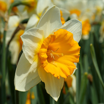 Big Gun Large-Cupped Daffodil
